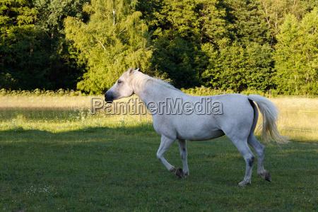 weisses pferd laeuft auf fruehlingsweidewiese