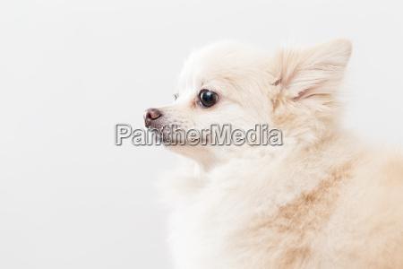 weisser pommerschen hund