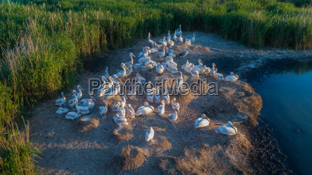 die dalmatinischen pelikane pelecanus crispus im