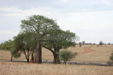 afrikanische savanne sommerpickbahn wilde safari tansania
