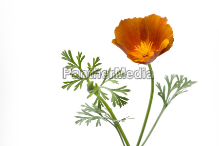kalifornischer mohn eschscholzia californica freigestellt
