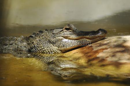 alligator in everglades national park miami