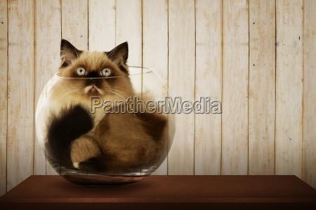 nette persische katze in glasschale