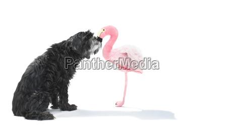 schwarzer wuscheliger hund kuesst flamingo aus