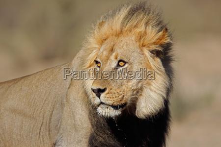 afrikanisches loewenportraet