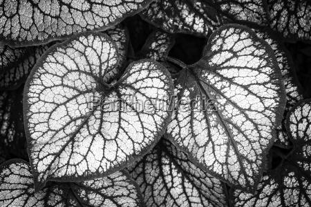 silbriges kaukasus vergissmeinnicht brunnera macrophylla in