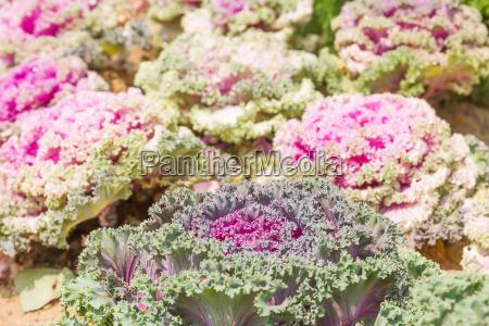 close up frischen kohl brassica oleracea
