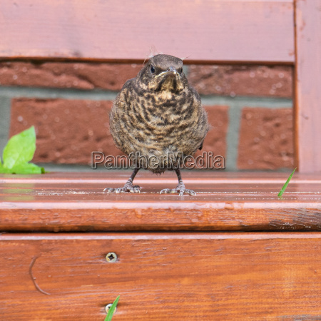 young thrush standing on a lawn