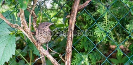 young thrush on a branch
