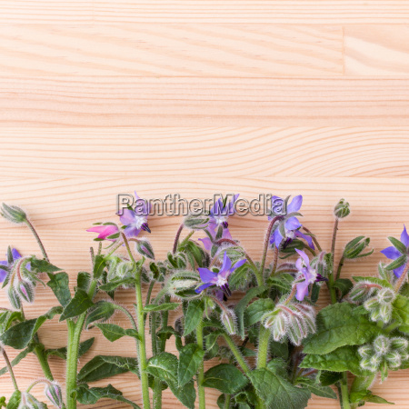 borage with blue flowers on a