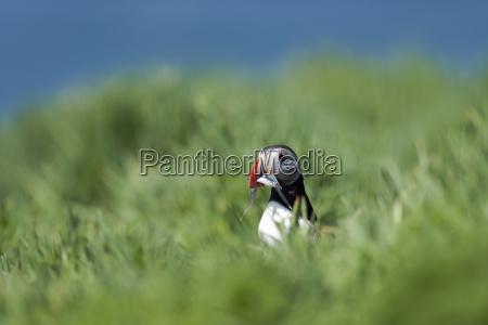 united kingdom england skomer atlantic puffin