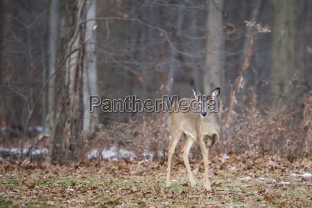 white tailed deer odocoileus virginianus ohio