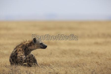 spotted hyena crocuta crocuta ngorongoro conservation