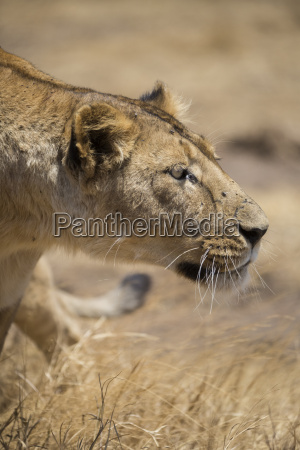 lioness panthera leo ngorongoro crater tanzania