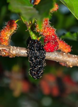 blatt baumblatt suesses fruechte putzig saftig