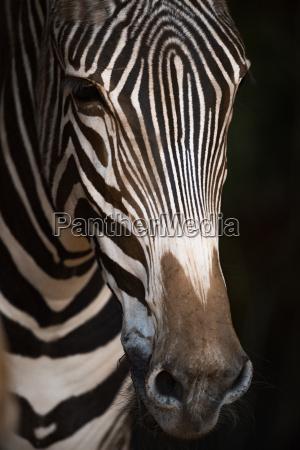 close up of grevy zebra nose