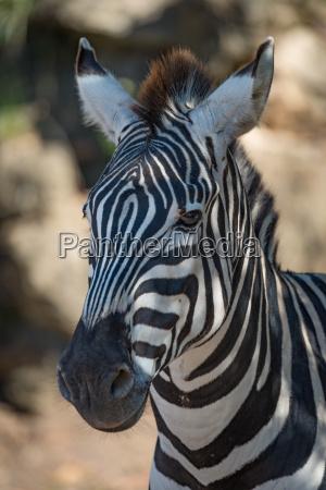 close up of grevy zebra in