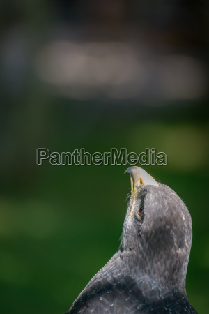 close up of black chested buzzard