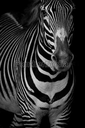 mono close up of grevy zebra
