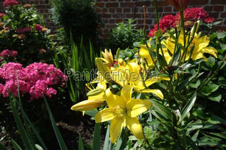 gelbe lilien und rote hortensien