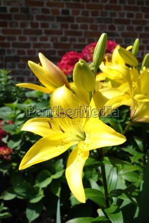 gelbe lilien