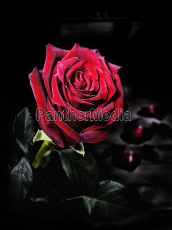 blatt baumblatt blume pflanze gewaechs rose