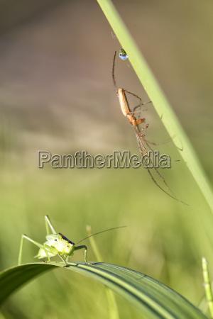 grasshopper isophya pyrenaeen