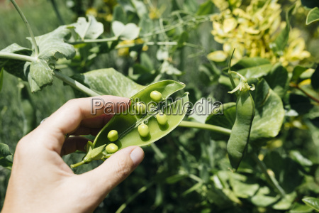 womans hand picking peas close up