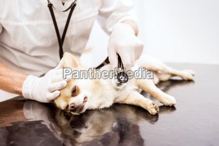 close up von tierarzt untersuchenden hund