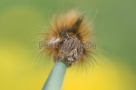 caterpillar of drinker on blade of