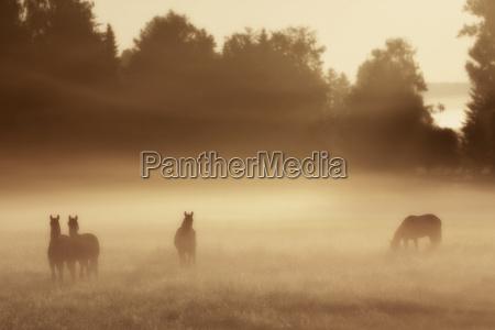 horses sunrise