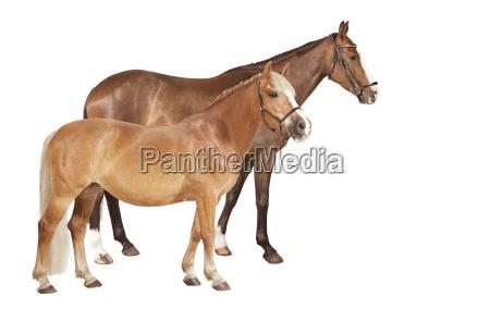 pferd und pony freigestellt