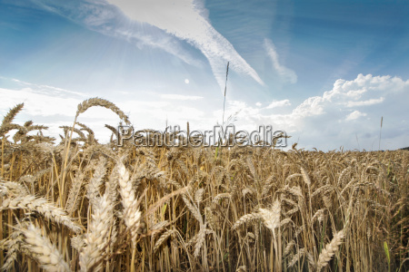 wheat field in summer at blue