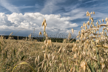 oat field in summer at blue
