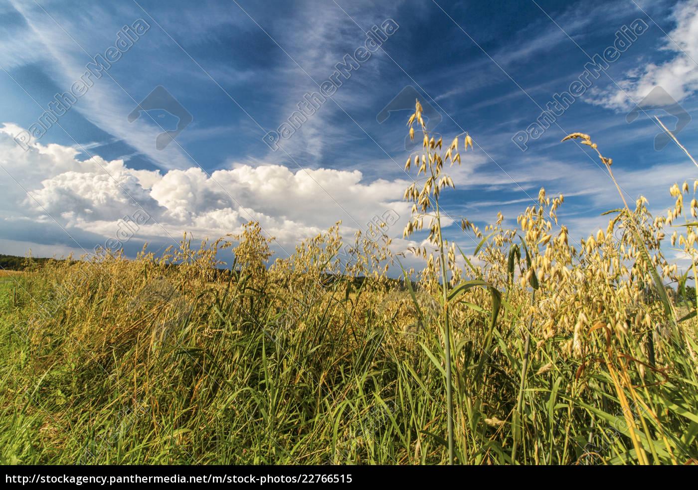 haferfeld, im, sommer, bei, blauem, himmel - 22766515