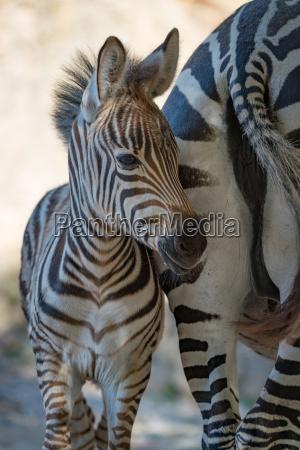 close up of baby grevy zebra