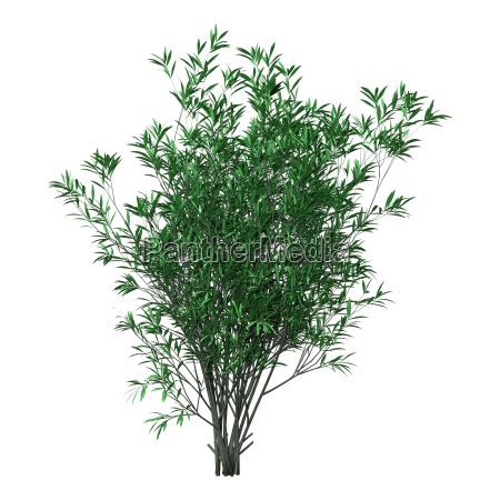 3d rendering bush oleander auf weiss