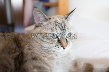 portrait of tabby cat european cat