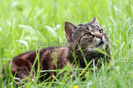 a curious brown black cat lies