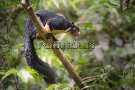 sri lanka riesenhoernchen im sinharaja regenwald