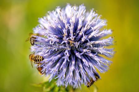 kugeldistel bluete mit bienen