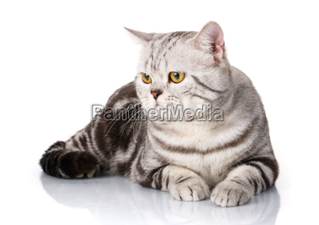 cute silver white kitten siting isolated