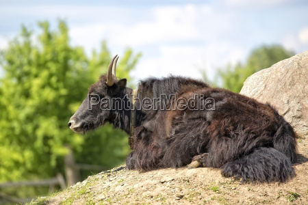 wild yak in a clearing
