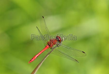 male blood red darter sympetrum sanguineum
