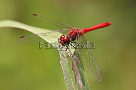 close up male blood red darter