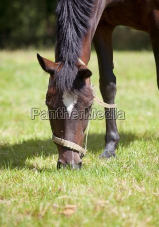 pferd frisst gras nahaufnahme