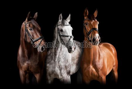 verschiedene pferde vor schwarzem hintergrund