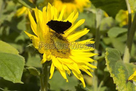 nahaufnahme von sonnenblumen auf dem feld