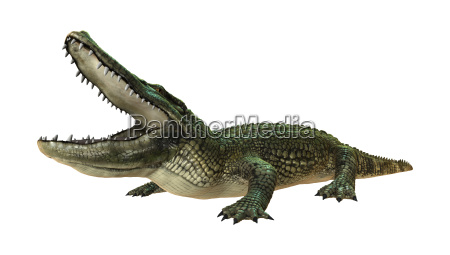 3d rendering american alligator auf weiss