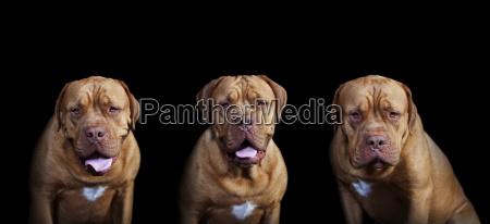 drei bordeaux doggen